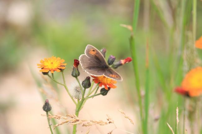 Meadow brown butterfly at a Dorset Wildlife Trust reserve, by Katie Wilkinson