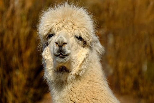 The alpaca farm has been refused Picture: PIXABAY