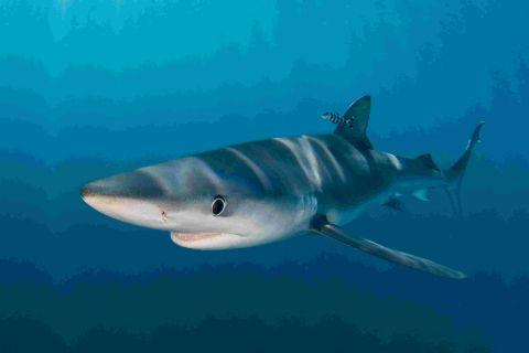 RED FLAG ALERT: A blue shark like the one spotted in waters off West Bay
