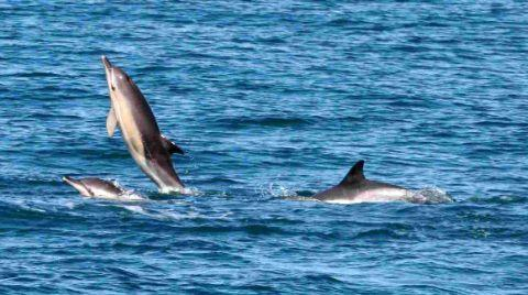 ALL AT SEA:  Several dolphins have been sighted in Lyme Bay seen putting on spectacular displays