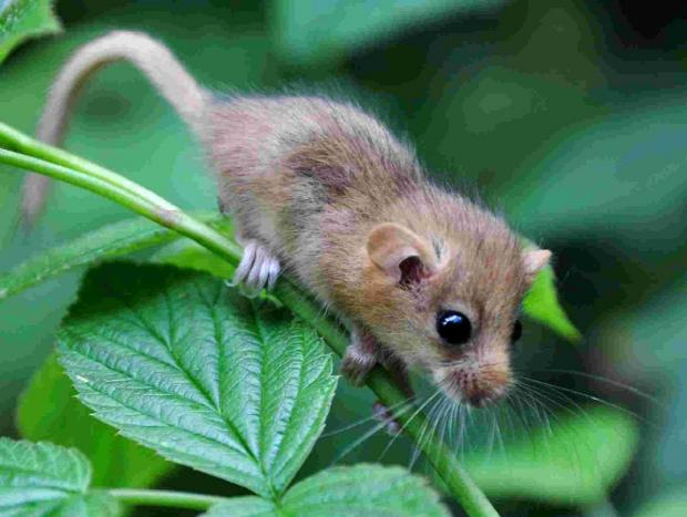 AT RISK: The endangered dormouse
