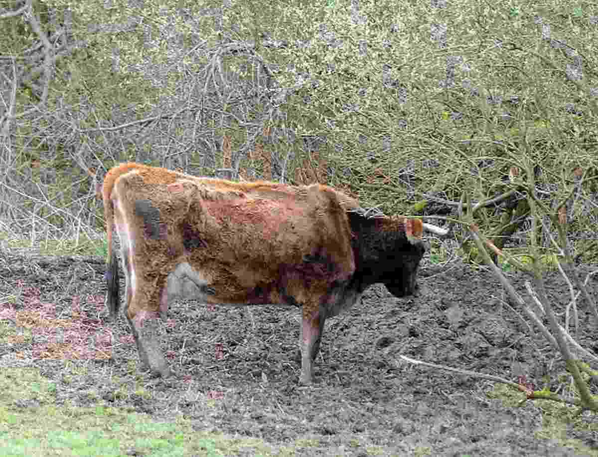 Another cow has to be put down on troubled farm