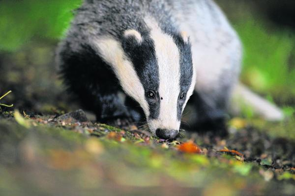 Farmers left with 'No hope' over badger cull