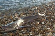 The smoothhound shark on Lyme Regis' main beach. Picture Ra Zamora