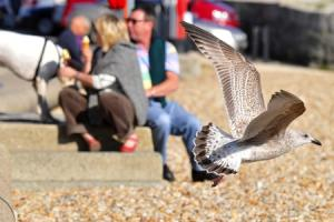 "Town council to educate public as part of Lyme Regis ""seagull action plan"""