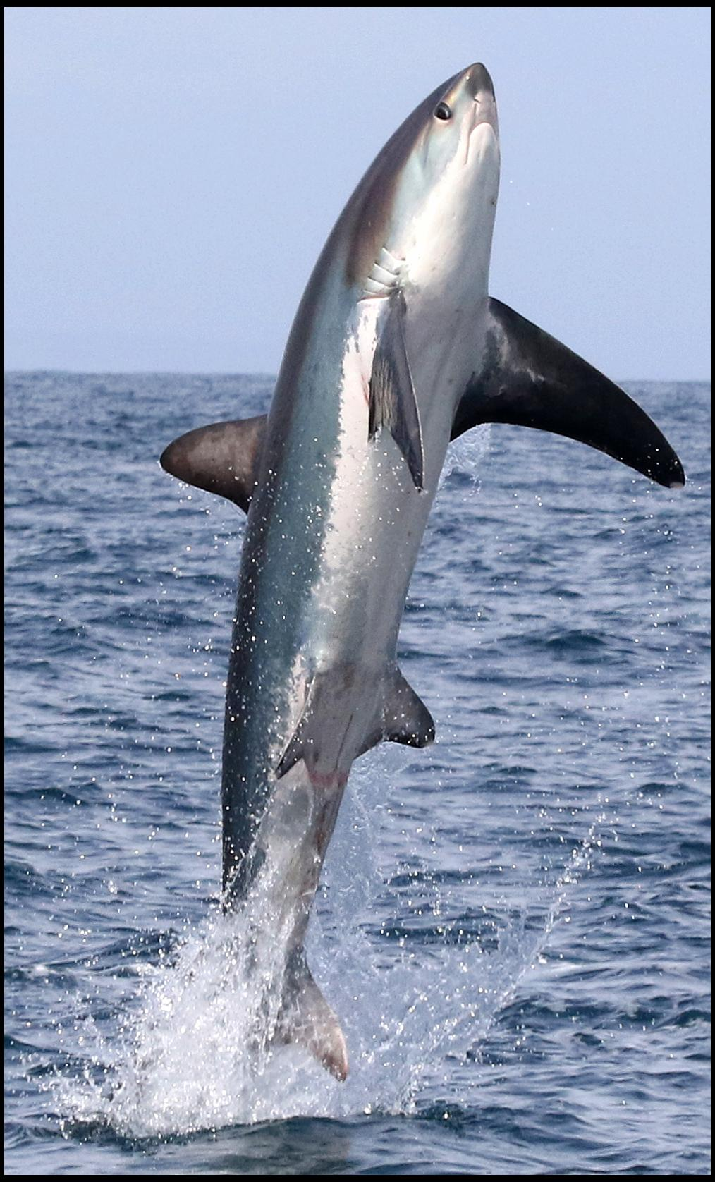 Thresher shark stuns sightseers at Lyme Bay by leaping up