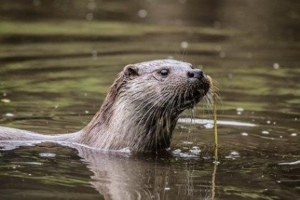 RISING NUMBERS: Otter number has risen due to natural regeneration, but impact on river and still water fisheries, PICTURE: ANGLING TRUST