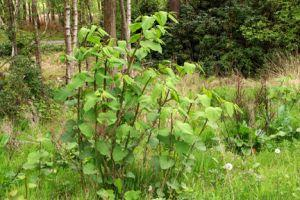 Are you living in a Japanese knotweed hotspot? This tool will help you find out